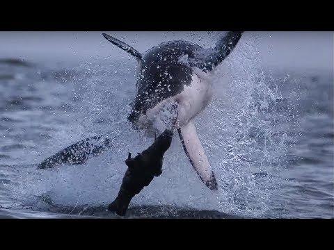 Giant Great White Shark ATTACKS! - Super Giant Animals - BBC
