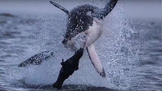 Giant Great White Shark ATTACKS! | Super Giant Animals | BBC Earth