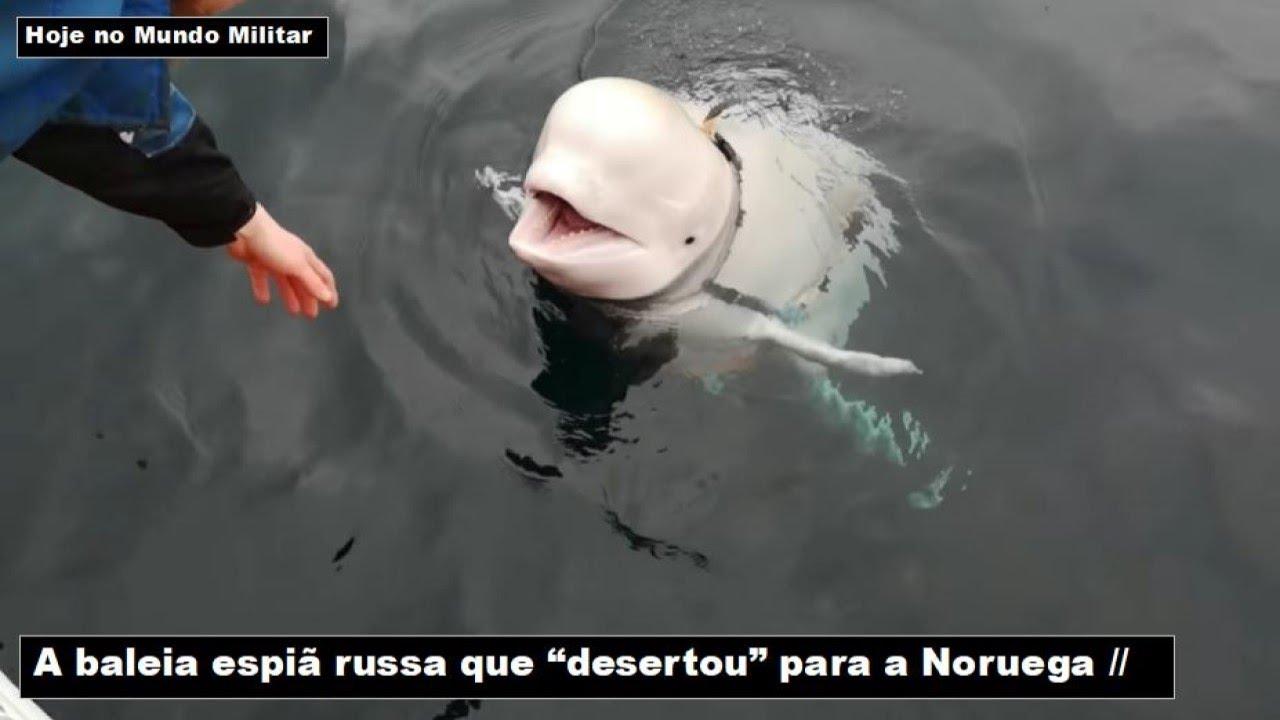 """A baleia espiã russa que """"desertou"""" para a Noruega"""