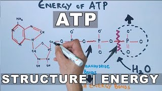 ATP Structure and Energy