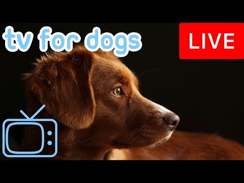 TV for Dogs! Chill Your Dog Out with this 24/7 TV and Music Playlist!