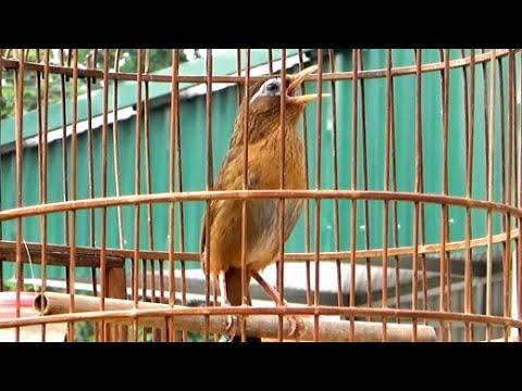 Suara Lantang Burung Wambi Gacor Variasi Banyak Youtube