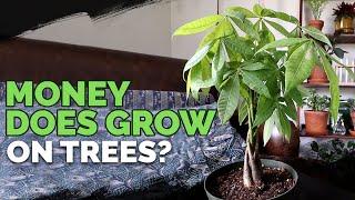 Money Tree Pachira Aquatica Care Youtube