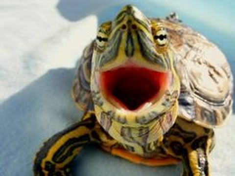 Top 10 funny turtle tortoise videos compilation 2016 youtube - Cute turtle pics ...
