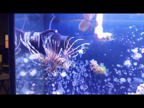 My Lion Fish Eating Frozen Food