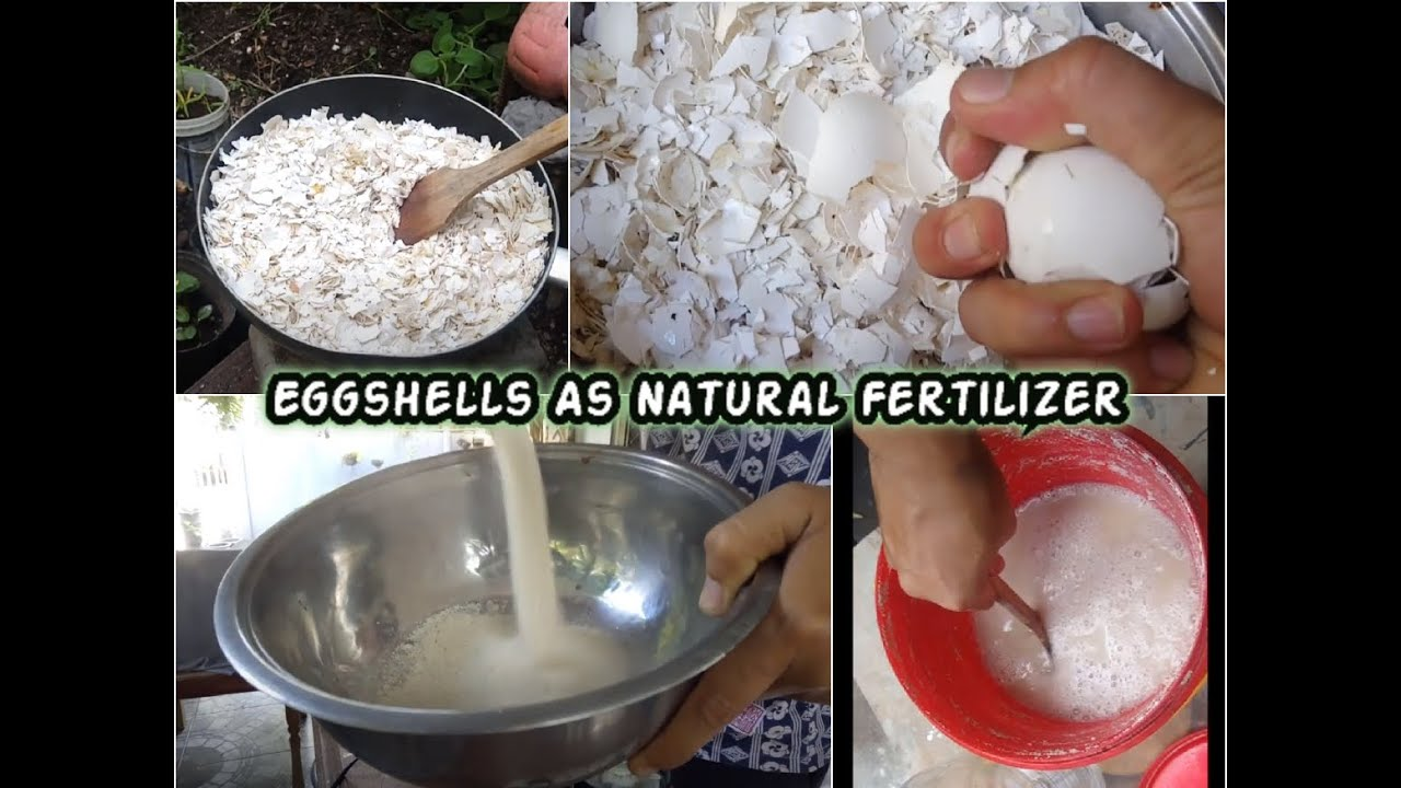 Download Make Organic Fertilizer From Eggshells | How to Prepare and Apply Calphos as Foliage