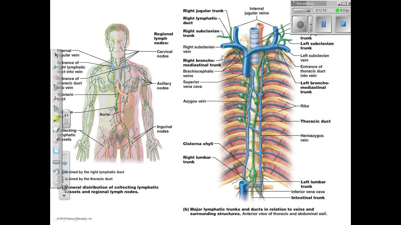 Chapter 20 Lymphatic System And Lymphoid Organs And Tissues Youtube