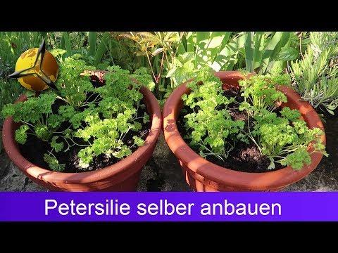 Petersilie selber pflanzen, schneiden & lagern