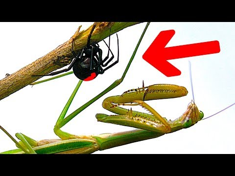 Deadly Spider Vs Giant Praying Mantis Round 3 Scary Bug War