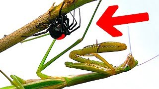 Deadly Spider Vs Giant Praying Mantis Part 3 Educational Spider Study thumbnail