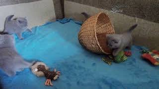 Веселая котоминутка. Месячные британские котята.