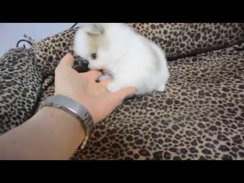 Pomeranian puppy Angel - 1