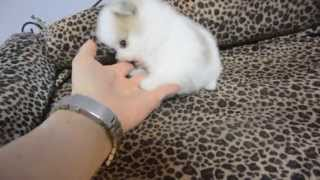Pomeranian Puppy Angel - 1