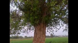 Wajid khan Jarwar  Ek piyara sa gaoo ...21.4.2012