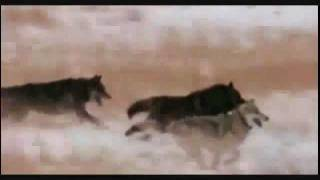 This is The Real Grey - Save the Wolves