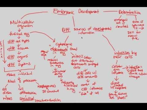 Gene Regulation - Embryonic Development