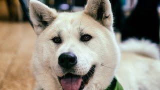 ***Akita Puppy Potty-Training Free-Mini Course***