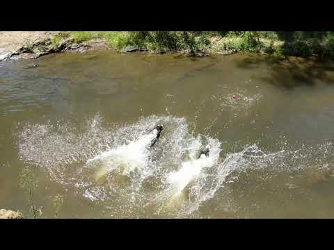 English Springer Spaniel: Buding and Bessie water jumping
