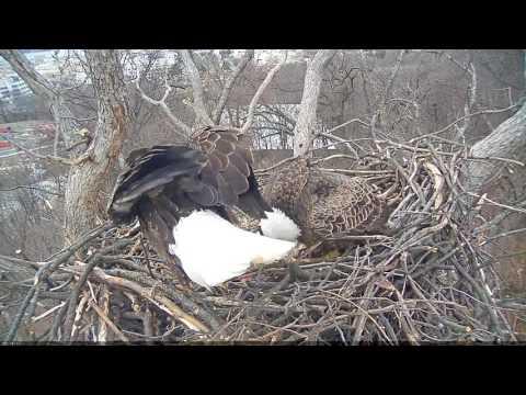 EAGLE CAM 2017- Eagle lays egg! #EggWatch2017 - ECC, MPDC - Washington, DC