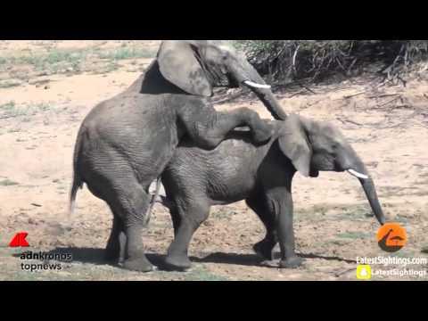 L'elefante 'monta' il rivale...