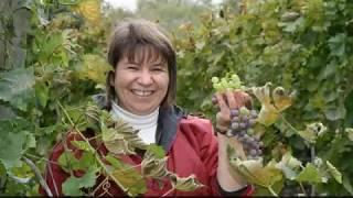 Manitoba Grape Harvest - Tobacco Creek Vineyards - Stafaband