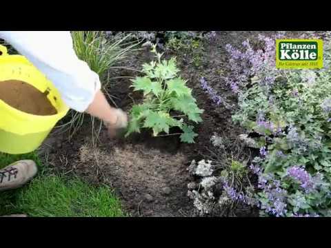Rittersporn Einpflanzen Im Garten I Pflanzen Kolle Youtube