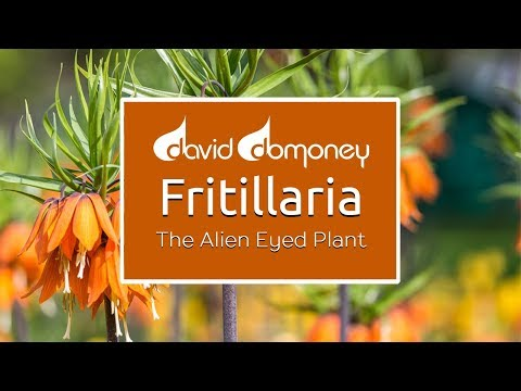 Planting Bulbs For Spring: Fritillaria