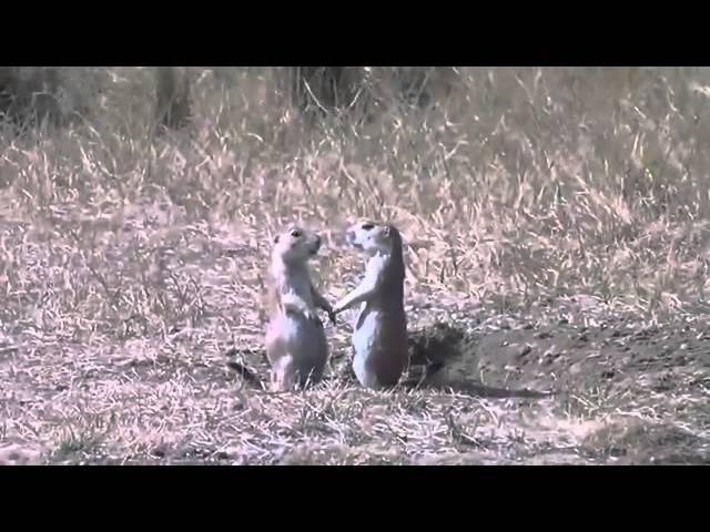 Romantic Prairie Dogs Kiss Goodbye