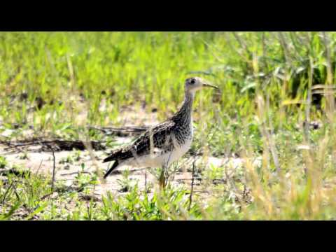 The Future of Grassland Birds on Working Lands