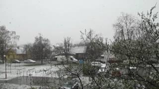 Алыча цветёт, и снег идёт. Гродно. Апрель.