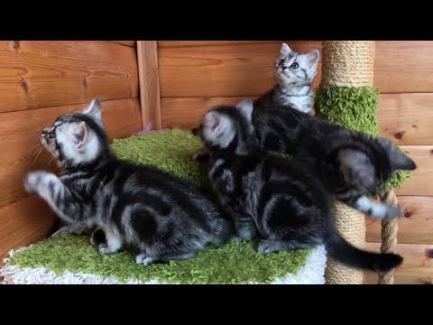Британские мраморные котята, 2 мес  (Litter E-Tula)
