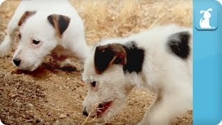 Puppy Love - Jack Russell Terriers