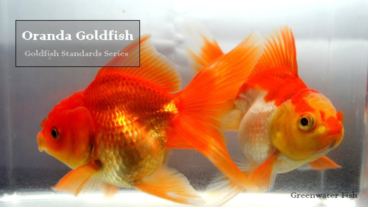 Goldifsh