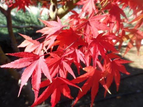Как меняется клен осенью