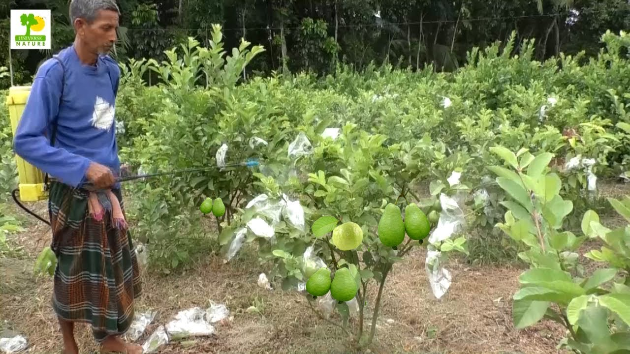 Guava Fruit - Guava Tree Farm Business Ideas with low Investment and High  Profit