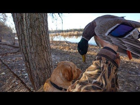 Farm Pond Mallard Duck Hunt With The Farmer
