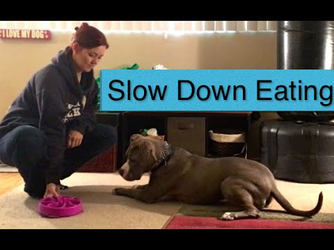 Teaching a Dog to Eat Slower PitBull Food Bowl Issues Excitement