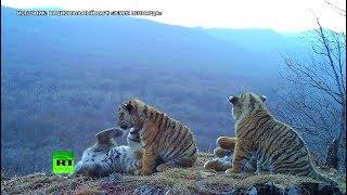 Уникальные кадры: впервые сразу четыре амурских тигрёнка попали на видео