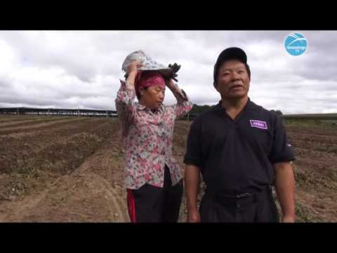 Hmong Report: Hmong Life - Hmong Ginseng Farm in Wausau, Wisconsin Oct 02 2016