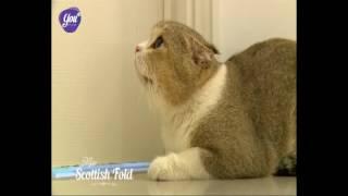 Thucungtv - Tìm hiểu về giống mèo tai cụp Scottish Fold
