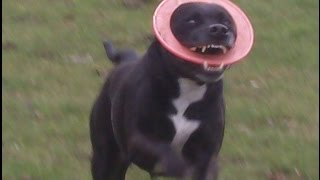 Staffordshire Bull Terrier Dave & Maizey At A & B Dogs Boarding & Training Kennels.