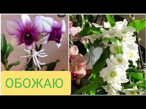 Дендробиум нобеле и дендробиум фаленопсис. В чем разница? Пышное цветение и цветение на ножках!