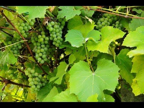 Deutscher Wein ist wieder gefragt