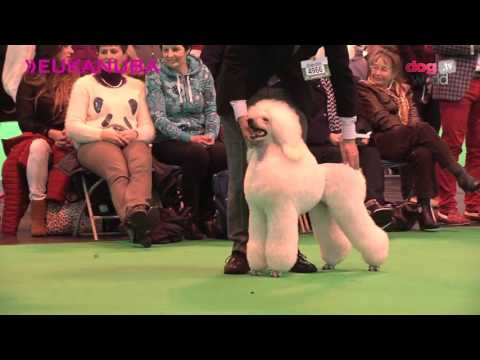 Crufts 2016 – Standard Poodle Best of Breed
