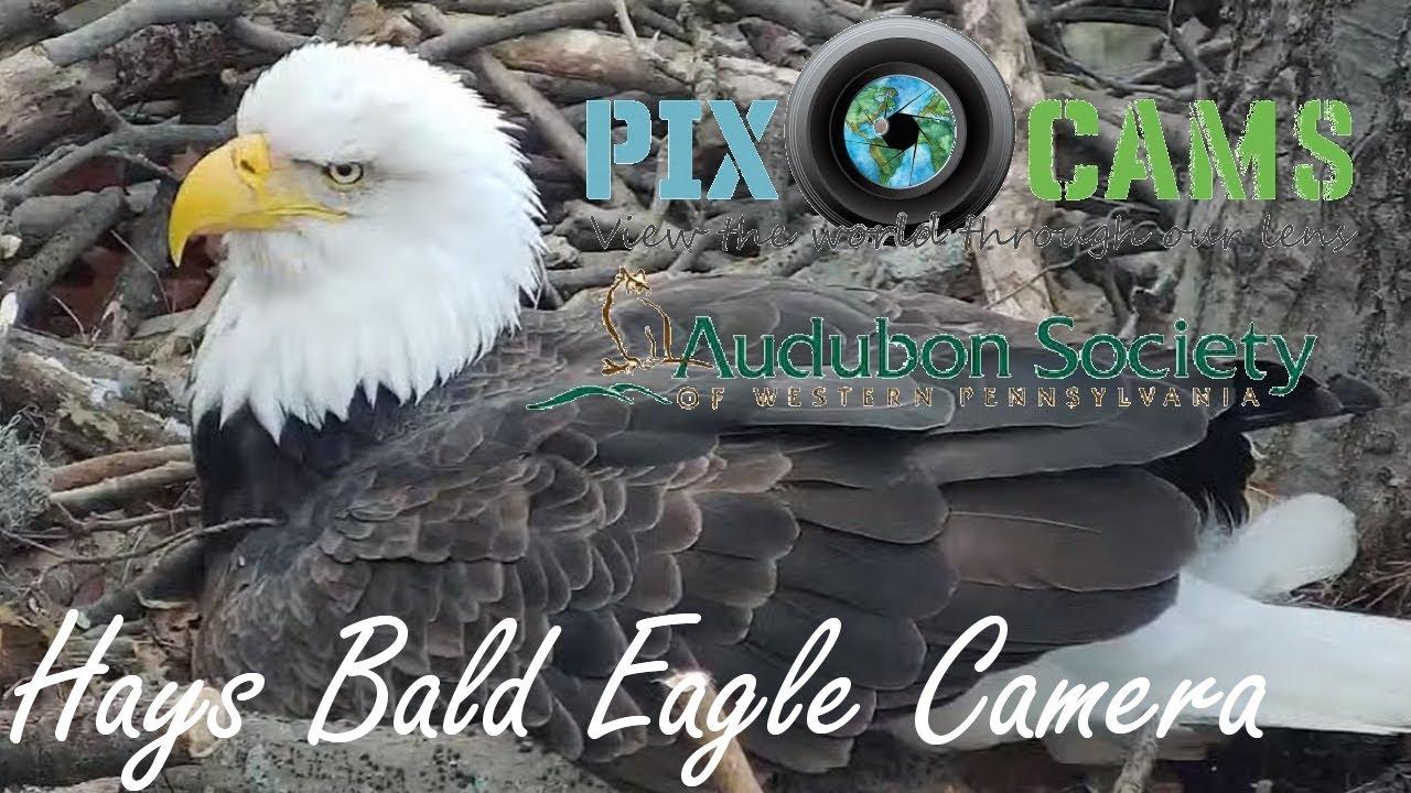 Pittsburgh Hays Bald Eagle Camera Live Stream