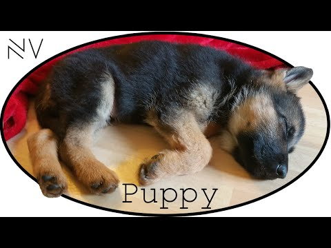 I Got A German Shepherd Puppy! | NerdVlog