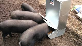 Large Black Pigs Figuring Out An Automatic Feeder