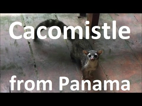 Discover the cacomistle, strange animal from Central America