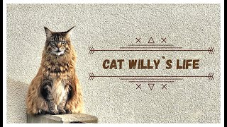 Maine Coon Cat Willy`s Life  1