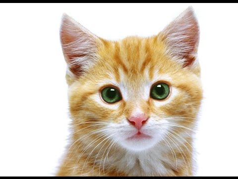 10 Cutest Cat Breeds in the World - Top Ten Stuffs
